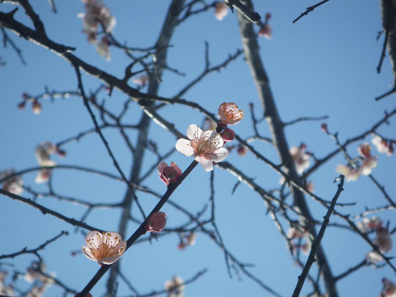 pentax w60で撮影した梅の花